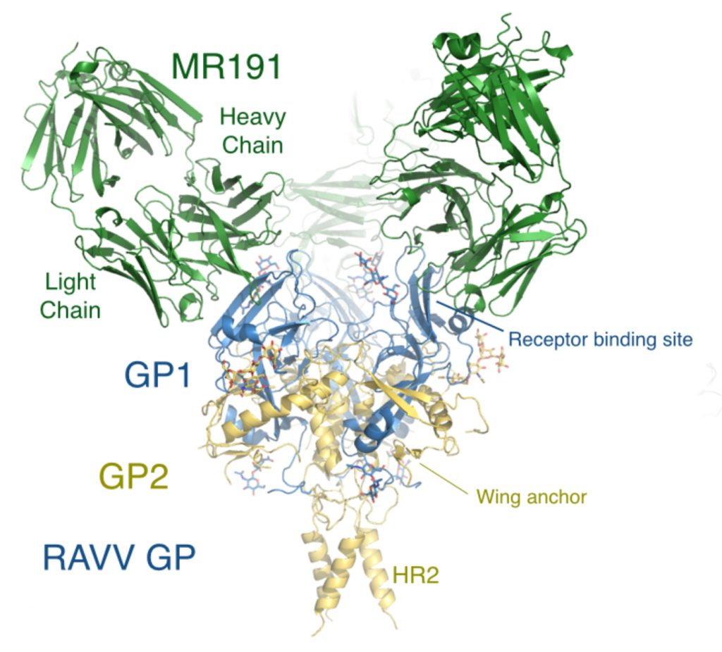 An antibody called MR191 can neutralize the deadly Marburg virus (Image courtesy Ollmann Saphire Lab)