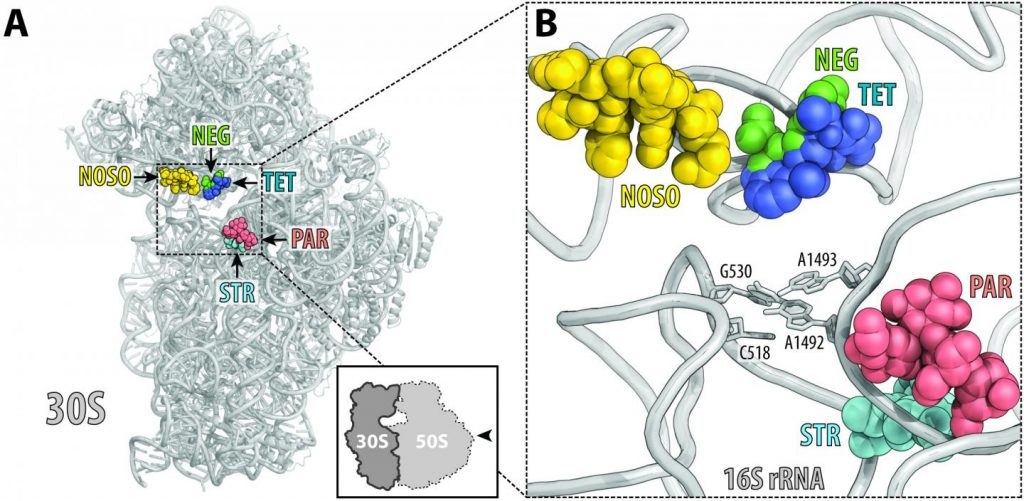ODLs (yellow) bind to a site on the ribosome not used by other antibiotics. Location of this site is shown here relative to the sites of other known antibiotics, such as negamycin (green), tetracycline (dark blue), aminoglycoside antibiotic paromomycin (red) and streptomycin (light blue). Image/UIC/Yury Polikanov, et al
