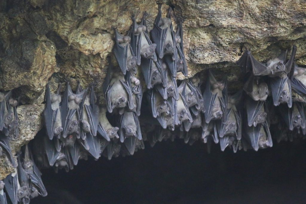Egyptian rousette bats (Rousettus aegyptiacus), such as those photographed here in 2017 at Python Cave, Uganda, have been identified as the natural reservoir for Marburg virus, the first known filovirus and close relative of Ebola virus. Python cave was the site of two known spillover events to humans, one fatal, in 2007 and 2008. Image/Dr. Jonathan Towner, Centers for Disease Control and Prevention