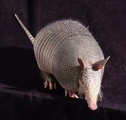 This is a nine-banded armadillo (Dasypus novemcinctus). Image/Richard Truman, USPHS Public Domain (2014).