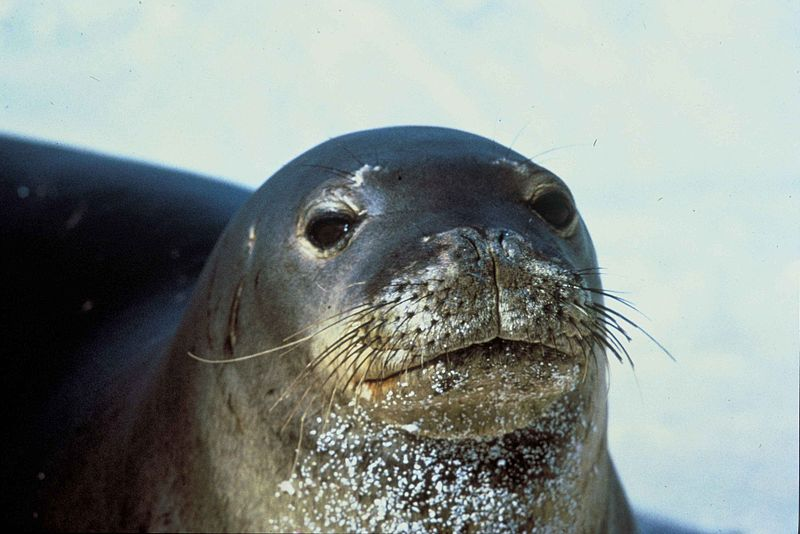 Hawaiian monk seal Image/U.S. Fish and Wildlife Service