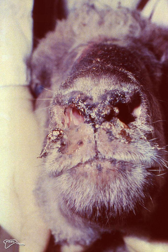 this photograph depicted encrustations on the muzzle and around the nares of an ovine ill with Rift Valley fever (RVF). Image/CDC
