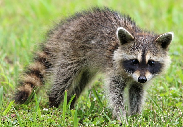 21 people exposed to rabies after woman rescues baby raccoon