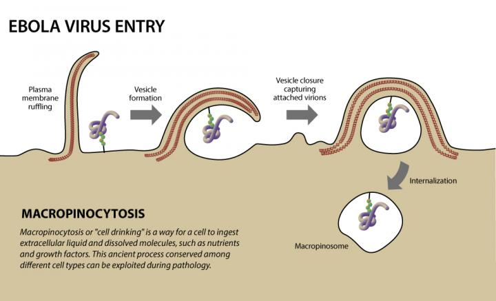 Illustration of Ebola virus entry Image/Texas Biomedical Research Institute