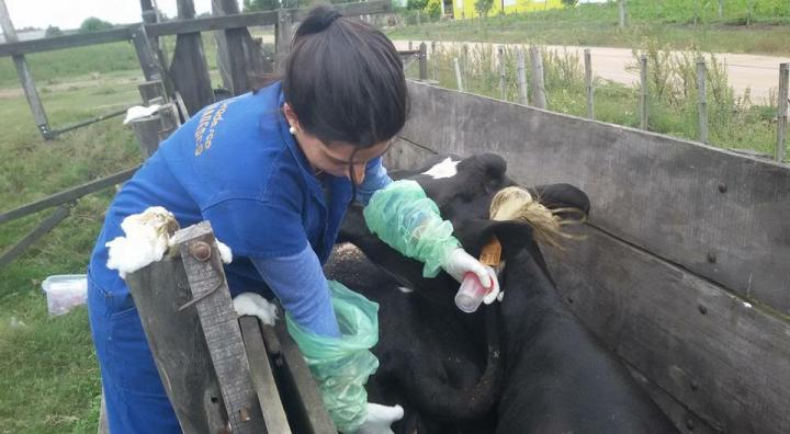 One of the veterinarians, co-author of the article, was photographed while obtaining urine and blood samples from cattle in a farm in Uruguay. Such samples allowed for serologic characterization of animals, and eventual isolation/typing of Leptospira spp. strains. Image/Buschiazzo, et al. (2018)