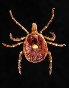 Amblyomma americanum image/ CDC