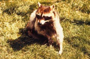 Raccoon image/CDC
