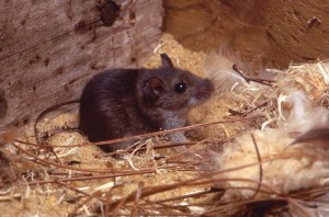 Deer mouse Image/CDC
