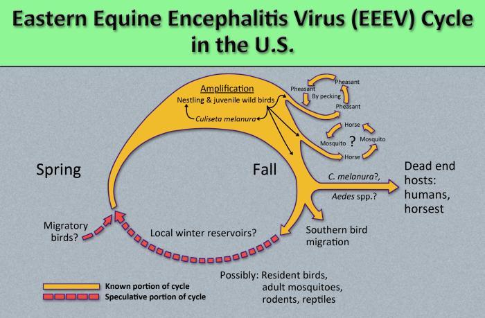 Eastern equine encephalitis virus /CDC