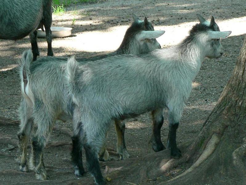 Goat kids Public domain image/Rosendahl