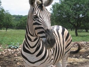 Zebra Image/en:User:Lunkwill