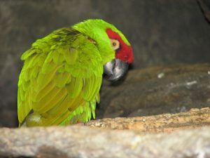 Thick-billed Parrot Image/Ltshears
