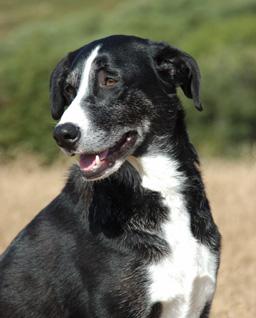 McNab dog Public domain image/Jezzabell
