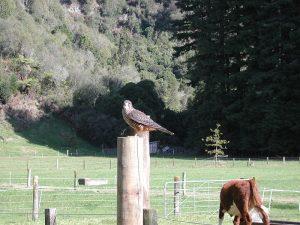 Falcon Image/Pseudopanax