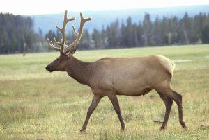 Elk Image/Leupold Jim, U.S. Fish and Wildlife Service