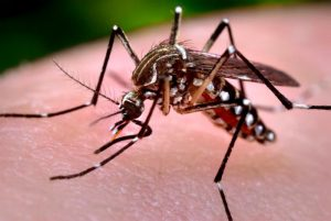 Aedes aegypti/CDC