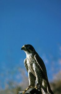Peregrine Falcon/U.S. Fish and Wildlife Service