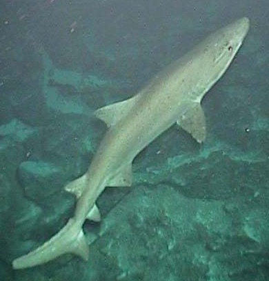 Sand Tiger shark/NOAA Ocean Explorer