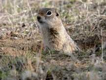 Ground squirrel/U.S. Fish and Wildlife Service