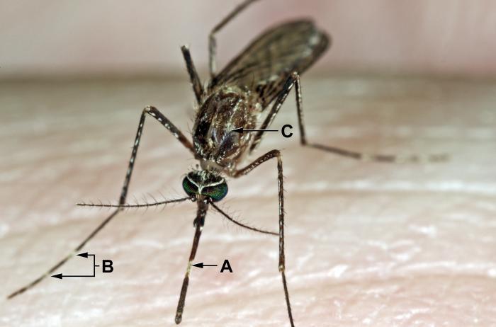 Culex tarsalis mosquito/CDC