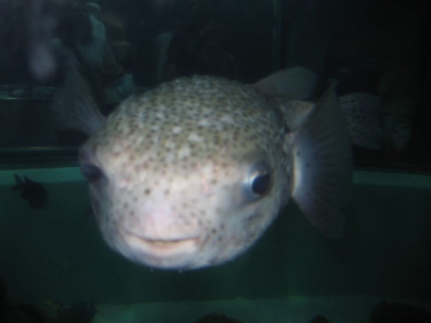 Puffer fish Public domain photo/Jh12 via wikimedia commons