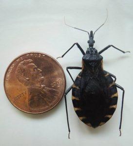 Kissing bug next to penny Image/Rachel Curtis-Hamer Labs
