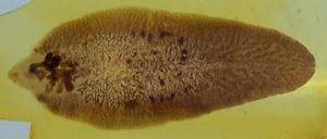 Adult Fasciola hepatica Photo/Adam Cuerden via Wikimedia Commons