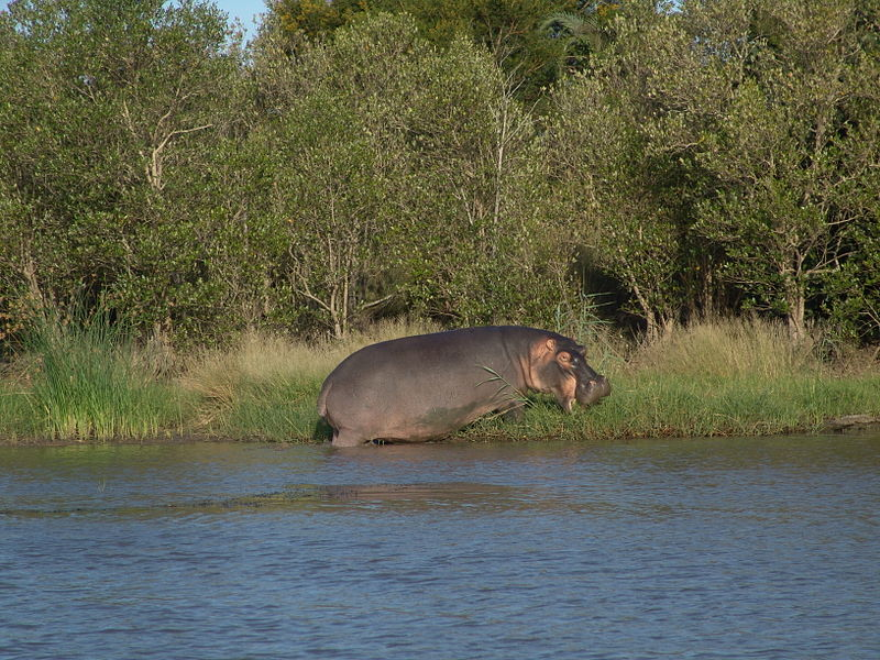 Hippopotamus/Garibgazi