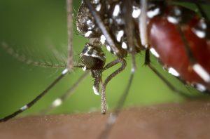 Aedes albopictus/FotoshopTofs