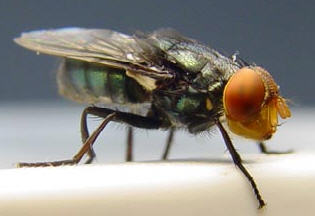 Screwworm fly (Cochliomyia hominivorax) Image/ The Mexican-American Commission for the Eradication of the Screwworm