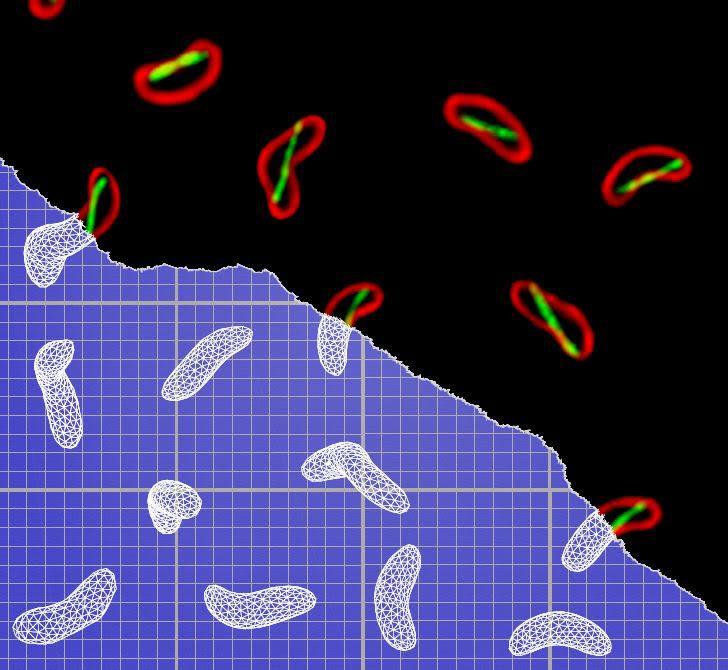 Image by Thomas Bartlett, Department of Molecular Biology