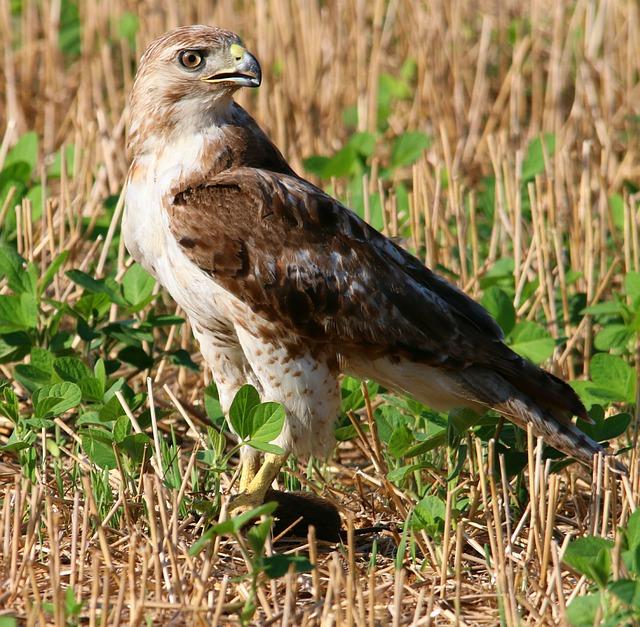 Red-tailed hawk Image/edbo23