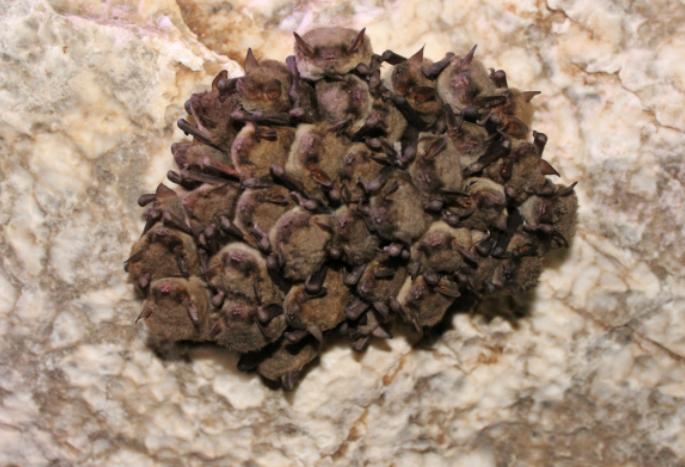 Cave myotis Image/Katie Gillies, BCI