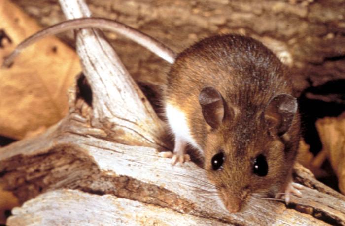 Peromyscus maniculatus (deer mouse) Image/CDC