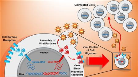 Promoter similarity of human immunodeficiency virus (HIV) and a human surface receptor allows shared activators to co-regulate viral-host gene expression (blue and red in the cell nucleus). Viral proteins bind cell surface receptors enabling viral control of host cell migration (right side). Those same viral proteins form viral offspring which are shed from the host cell and increase infectious risk to the moving cell's environment. Image/University of Illinois