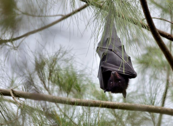 Black Flying Fox (Pteropus alecto) Image/James Nilson