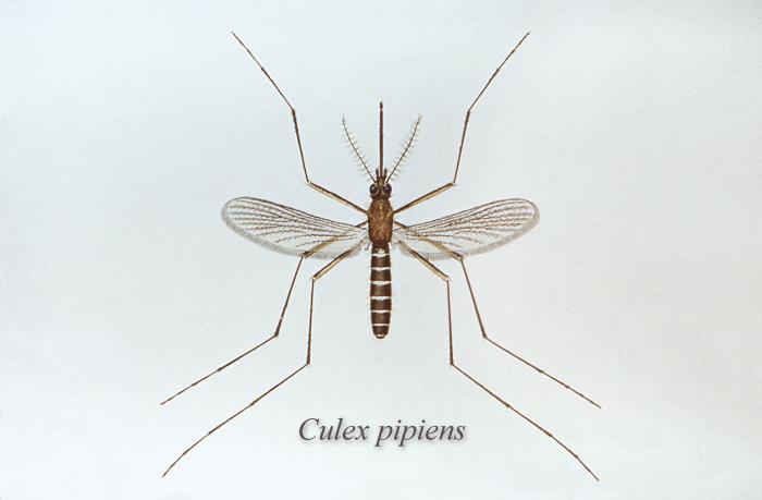 Culex pipiens/CDC