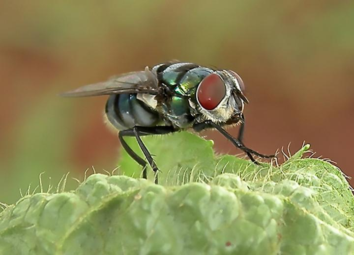 A study initiated at Penn State's Eberly College of Science adds further proof to the suspicion that houseflies and blowflies carry and spread a variety of species of bacteria that are harmful to humans. The high number of bristles on the fly body gives bacteria lots of places to attach and be transported from one location to another. Image/Ana Junqueira and Stephan Schuster