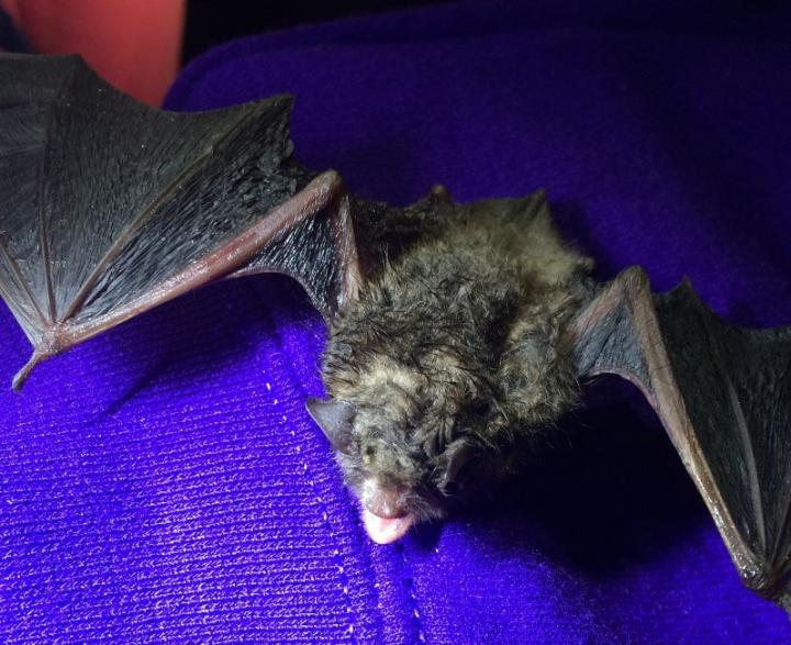 Scientists with the USDA Forest Service and the University of New Hampshire have found what may be an Achilles' heel in the fungus that causes white-nose syndrome: UV-light. White-nose syndrome has killed millions of bats in North America over the past decade. Image/Daniel Lindner, USDA Forest Service