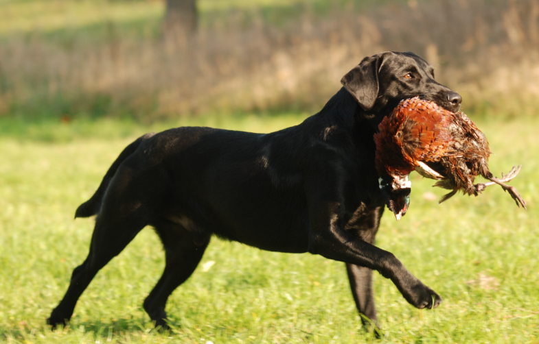 The frequence of Dogs infected with Tularemia pathogens is higher than previously thought. (Photo: Elli Winter/moorhunde.de)