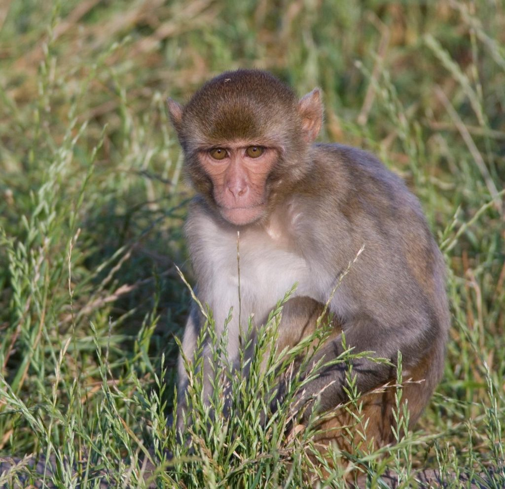 Macaque monkeys were one of the nonhuman primate animal models used in the Zika study. Image/Wisconsin National Primate Research Center