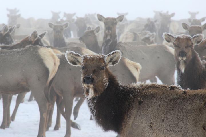 Image of antlerless elk (Cervus canadensis) at a winter feedground in Wyoming. Image/Mark Gocke/Wyoming Game and Fish Department
