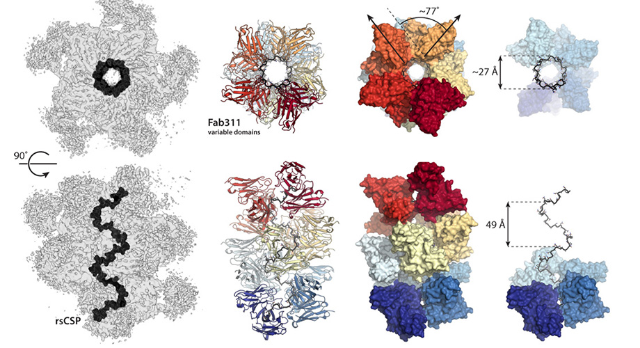 These figures from the new Science Advances paper show how antibodies link together to lock malaria's circumsporozoite protein into a spiral conformation. (Wilson/Ward labs, Scripps Research)