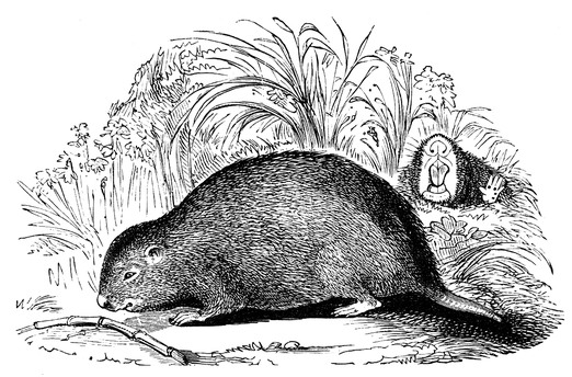 Bamboo rat Public domain image/wikimedia commons
