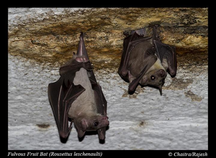 This is a Leschenault's rousette fruit bat (Rousettus leschenaultii) seen in a temple in Madurai, Tamilnadu, India. Image/Rajesh Puttaswamaiah, Bat Conservation India Trust